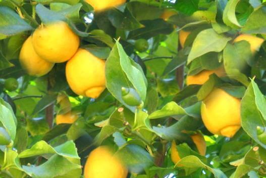 Лимони за добра памет