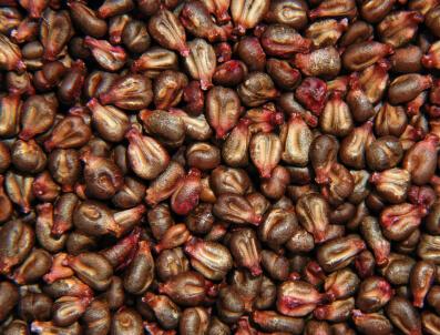 Гроздовите семена срещу Алцхаймер