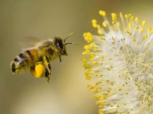 Пчелният прашец увеличава потентността