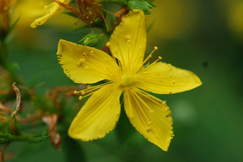 Жълт кантарион билка