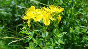 полезните свойства на жълтия кантарион