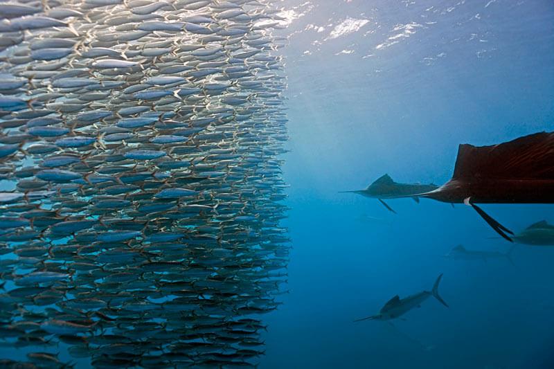 Каква е разликата между дивите и изкуствено отглежданите риби