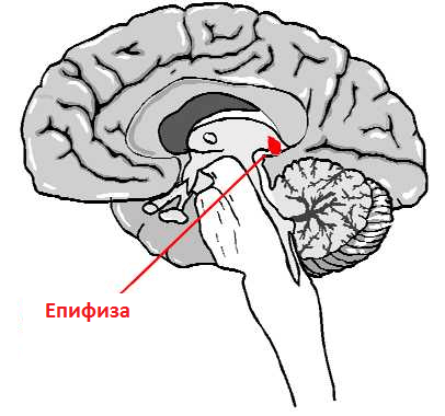 епифиза