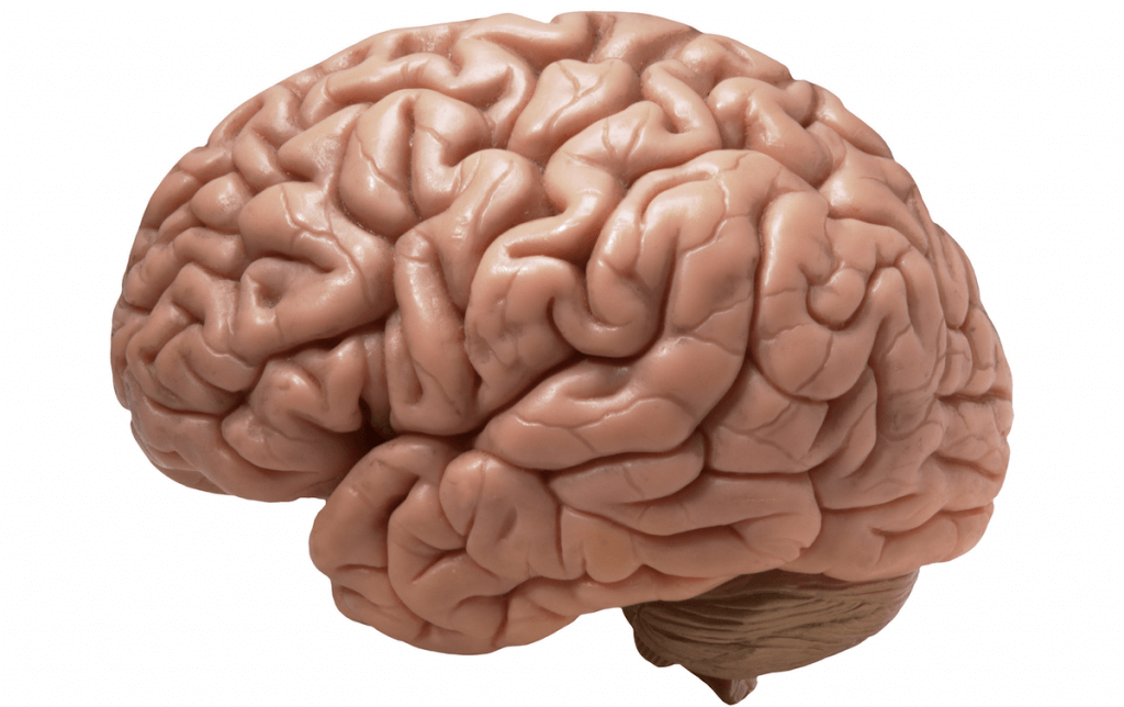 мозък, мозъчни фунции, нервна система