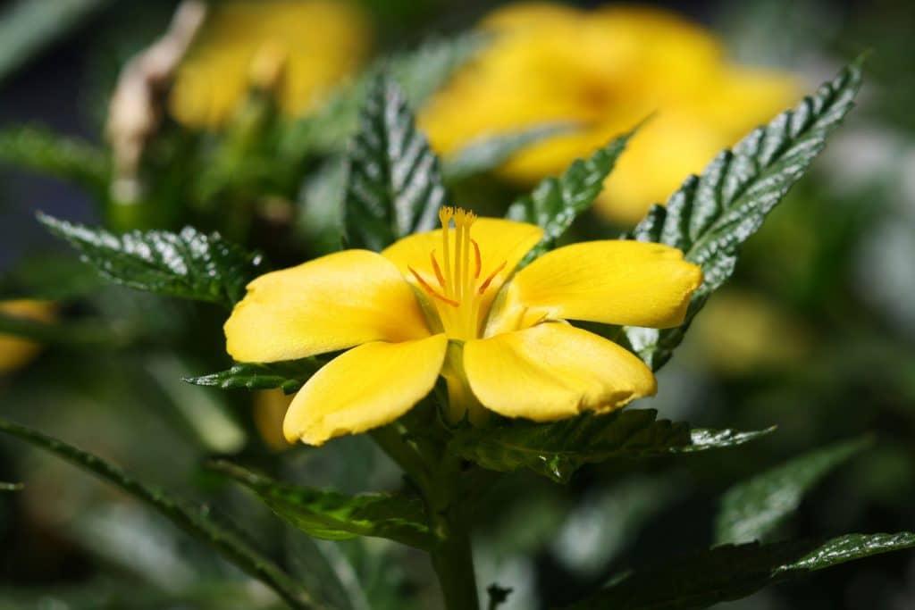 Дамиана билка