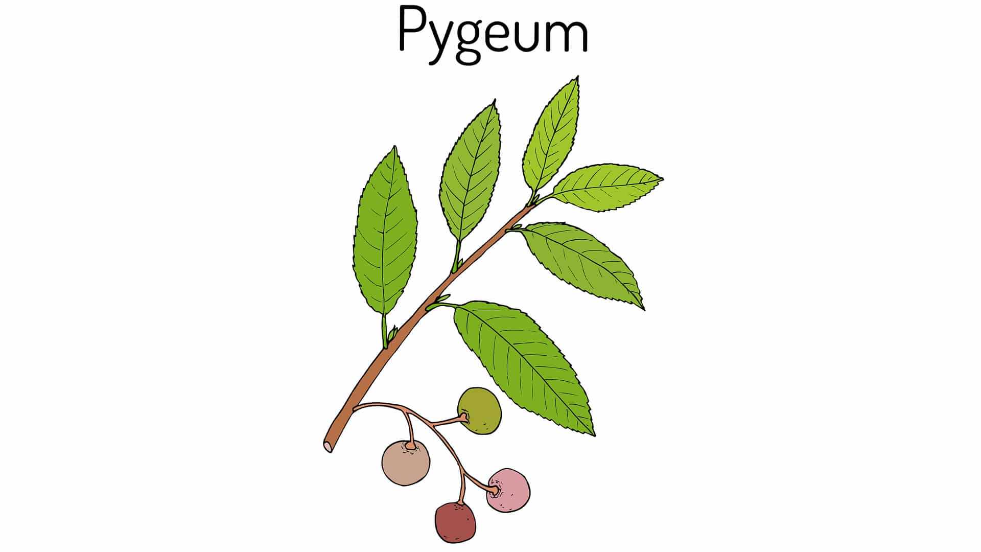 Пигеум