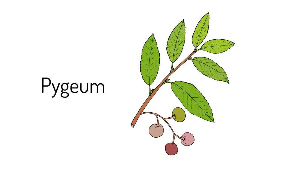 Пигеум (африканска слива, африканска череша)